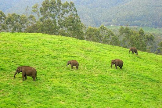 Wild elephants in Munnar.